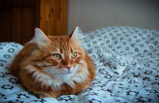 Bent lakós cica