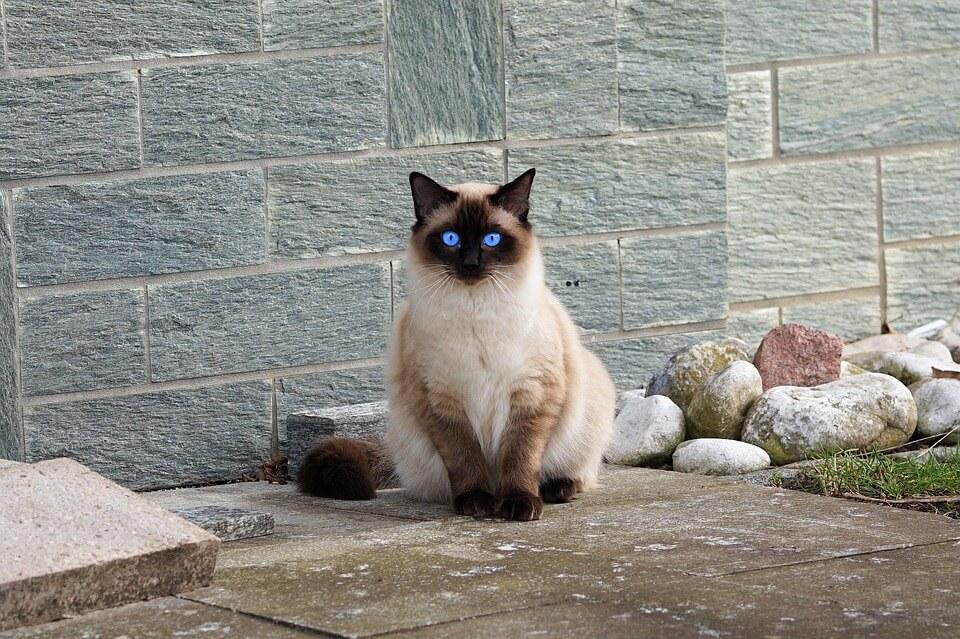 Macska ivartalanítása
