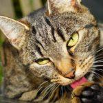 Milyen illata van a cicának?