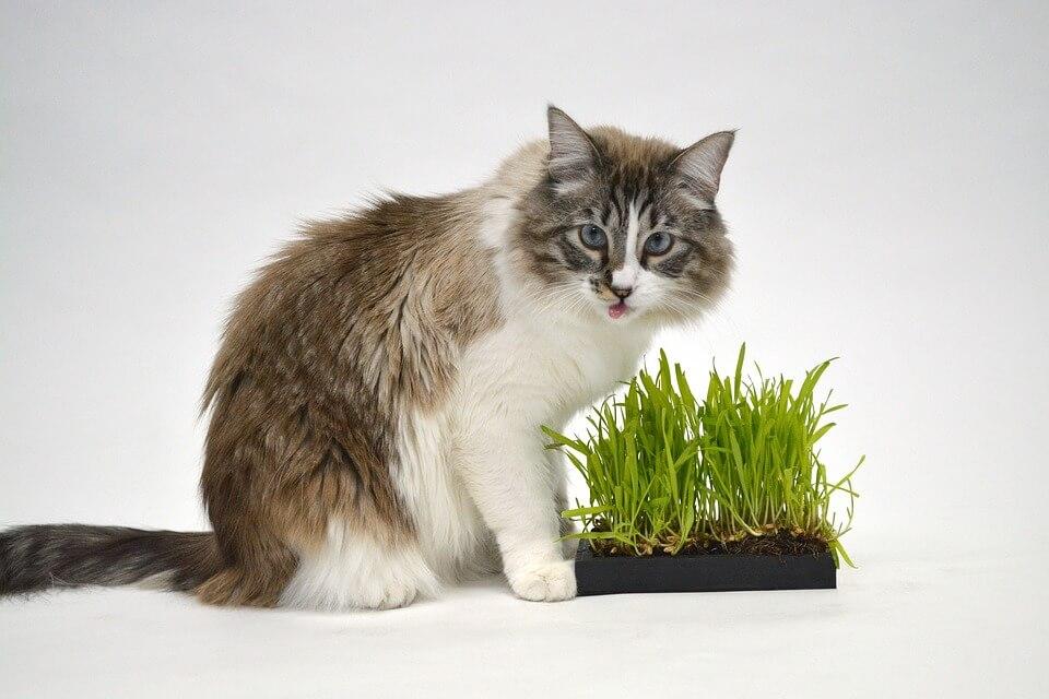 Macskafű a cicámnak – milyen füvet egyen a cicám?