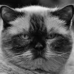 Macskafajták – brit rövidszőrű