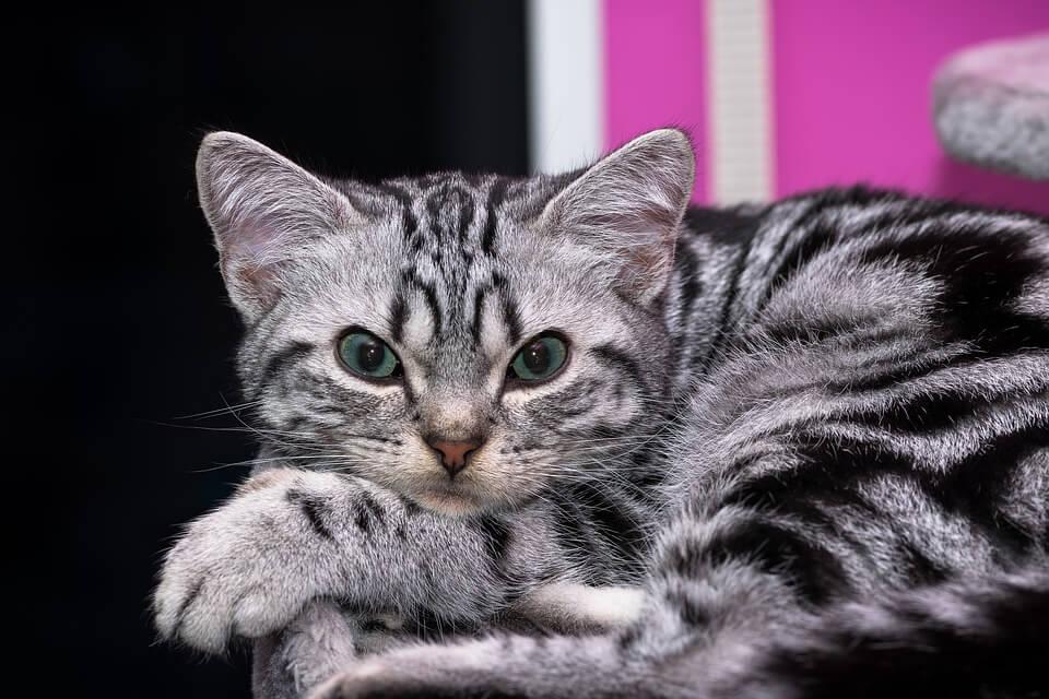 Angol macska nevek, melyik illik hozzá a legjobban?