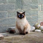 Macskafajták – sziámi macska