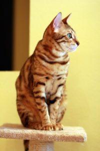 Macskafajták Bengáli