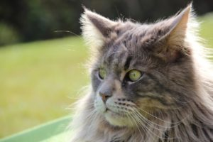 Macskafajták – maine coon