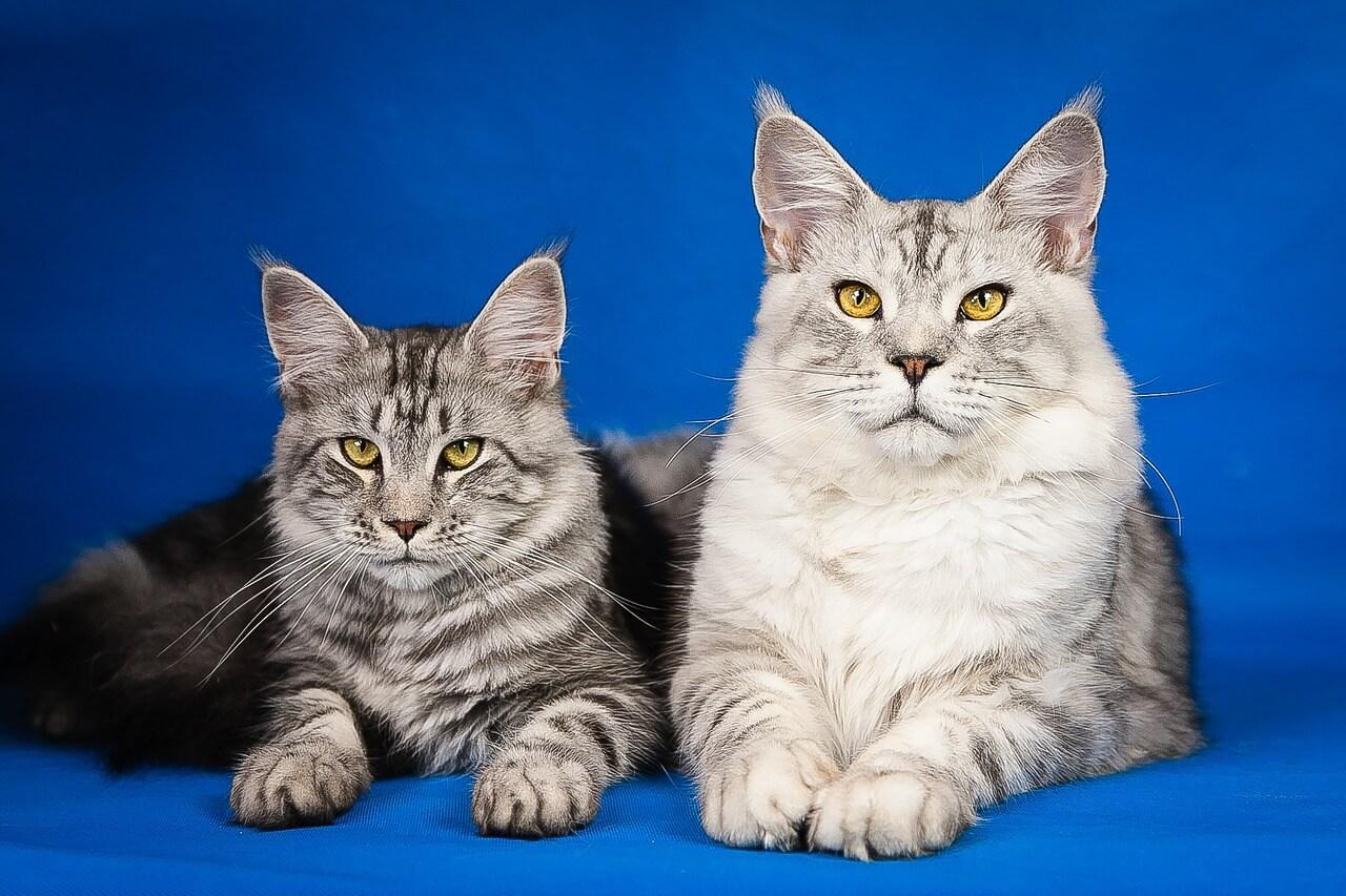 Macskafajták – maine coon macskafajta