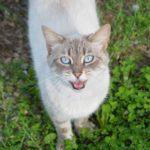 Neked miaúzok! – macskák figyelemfelhívó viselkedése