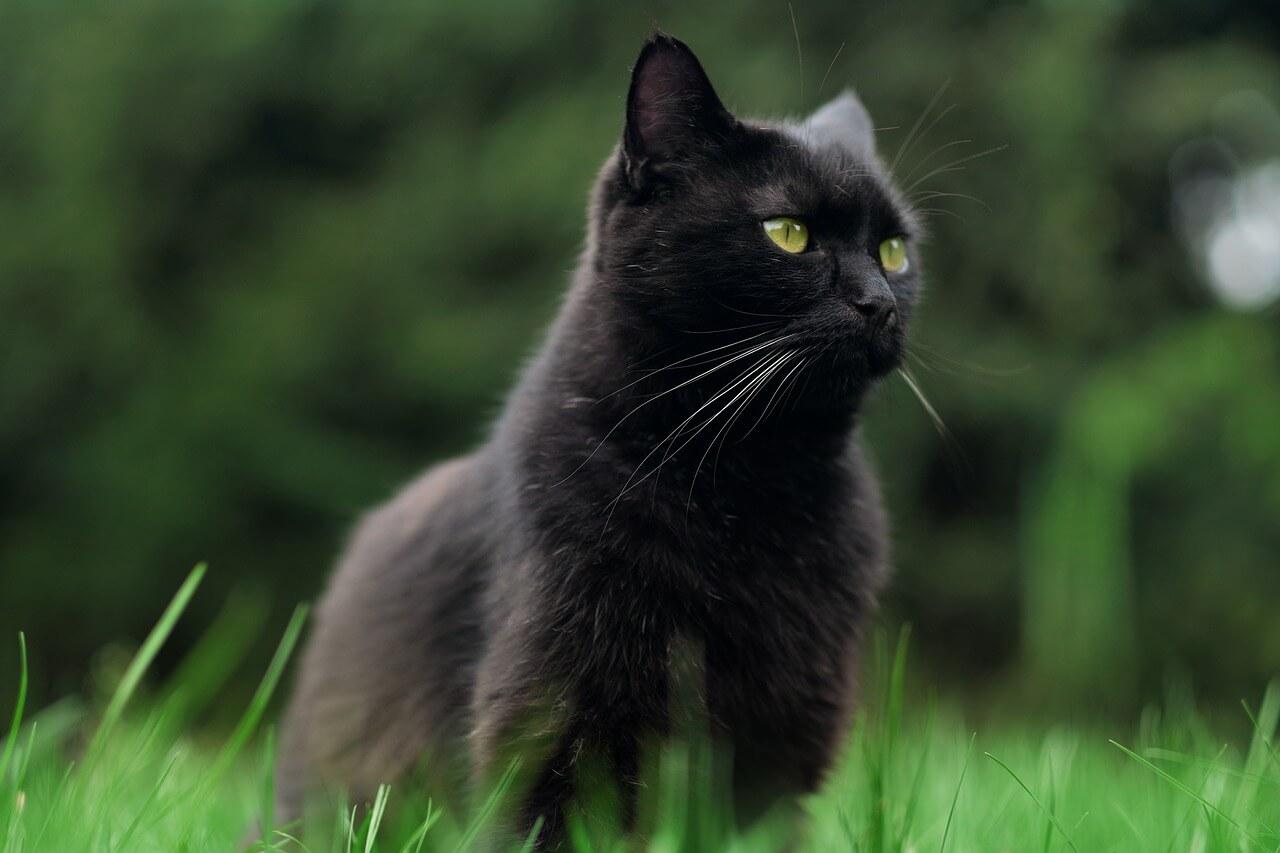 Fekete macska nevek, fekete cica nevek