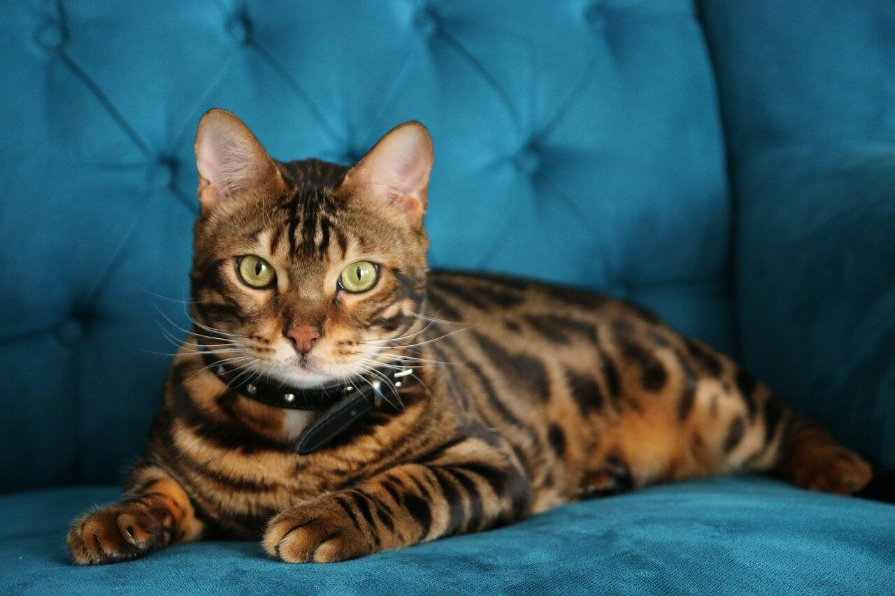 Bengáli cica nevek