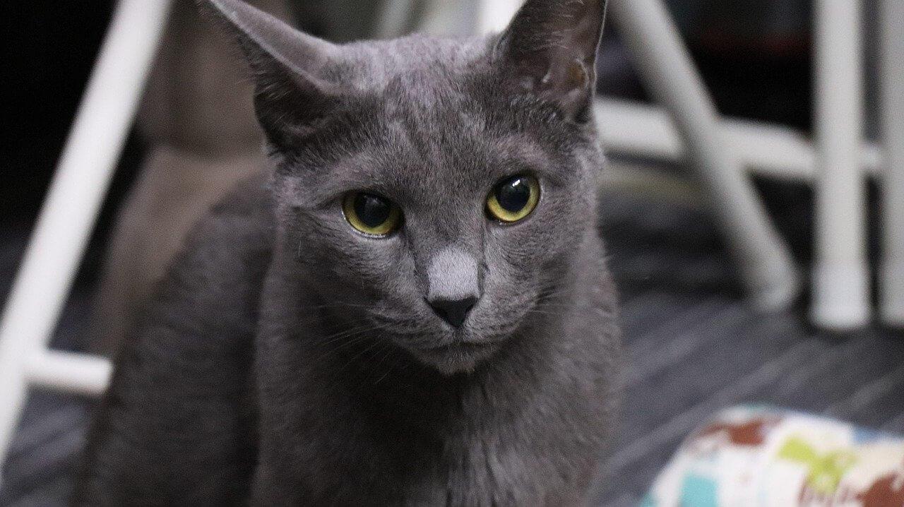 Orosz kék macska nevek
