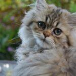 Perzsa macska nevek