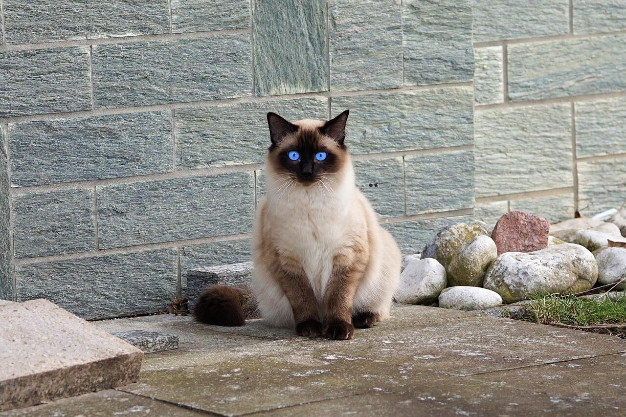 Sziámi macska nevek
