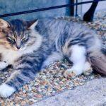 Japán macskanevek