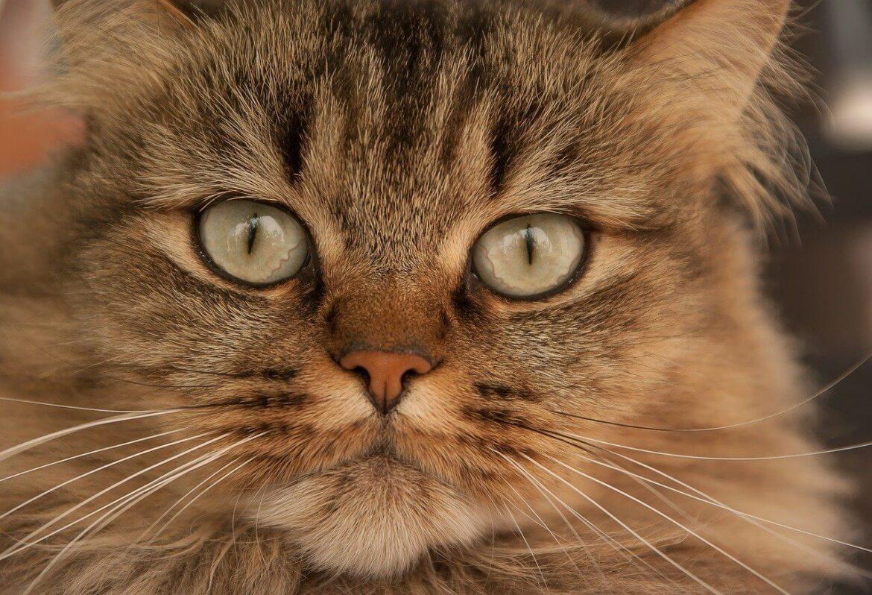 Macska bajsza
